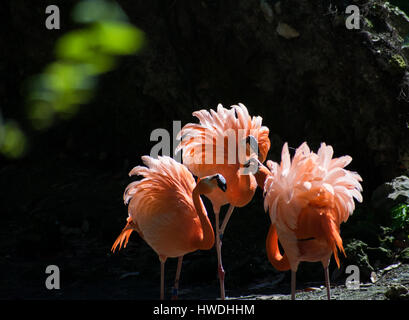 Three flamingos fighting over territory - Stock Photo