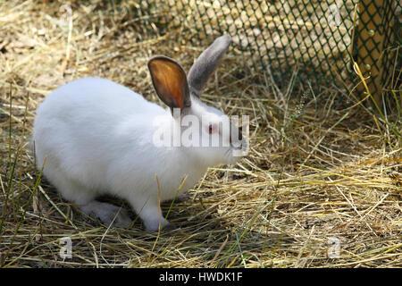 White rabbit grazing on AgroFarm - Stock Photo