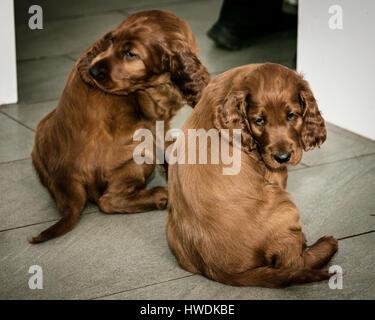 Two six week old Irish Setter puppies sat on floor - Stock Photo