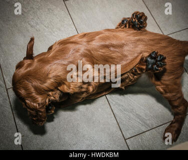 Two six week old Irish Setter puppies playing on floor - Stock Photo