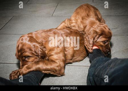 Two six week old Irish Setter puppies chewing socks on feet - Stock Photo