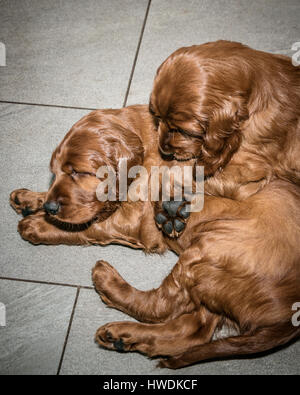 Two six week old Irish Setter puppies - Stock Photo