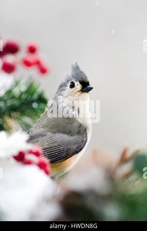 Tufted Titmouse winter bird on snowy landscape - Stock Photo