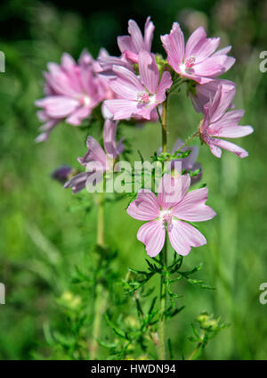Musk mallow Malva moschata at Leigh Woods near Bristol UK - Stock Photo