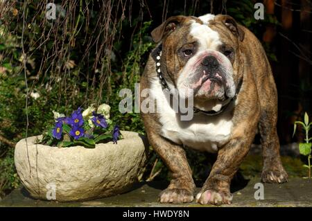 English Bulldog (Canis lupus familiaris) - Stock Photo