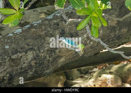 Collared Kingfisher, Todiramphus chloris in Ujung Kudon National Park, Java, Indonesia - Stock Photo