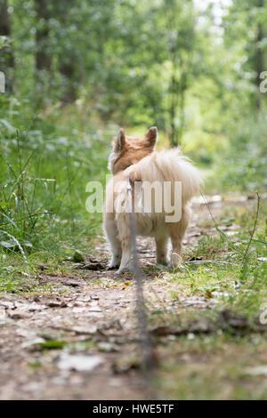 Long haired chuhuahua pet dog. - Stock Photo