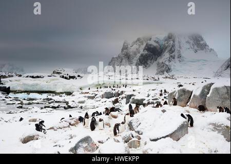 Gentoo penguin colony (Pygoscelis papua), Petermann Island, Antarctica - Stock Photo