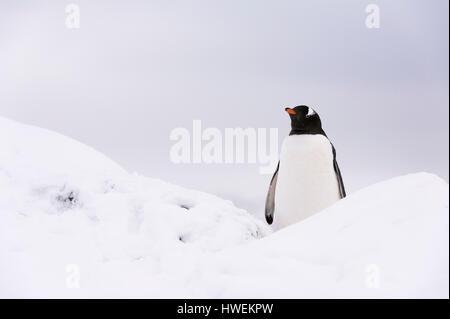 Gentoo penguin (Pygoscelis papua), Petermann Island, Antarctica - Stock Photo