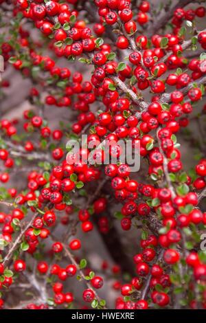 Cottoneaster berries - Stock Photo