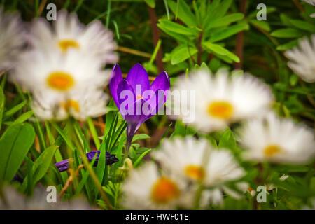 Mauve Crocuses hidden amongst daisies growing in London - Stock Photo