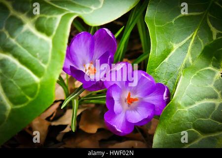 Mauve crocuses in bloom growing in a London garden - Stock Photo