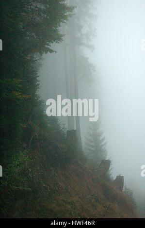 Mist covered alpine forest, Tannen-Berg forest, Wertacher Hörnle, Wertach, Oberallgäu, Bavaria, Germany - Stock Photo