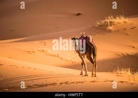 Camel walking on the dunes of the Sahara Desert at sunset in Merzouga - Morocco - Stock Photo