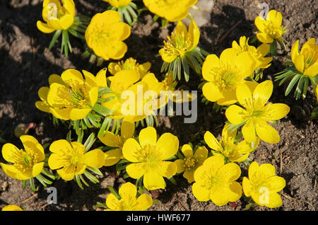 Winterling - winter aconite 11 - Stock Photo