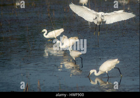 A Little Heron Bird Flying over other birds engaged in feeding themselves - Stock Photo