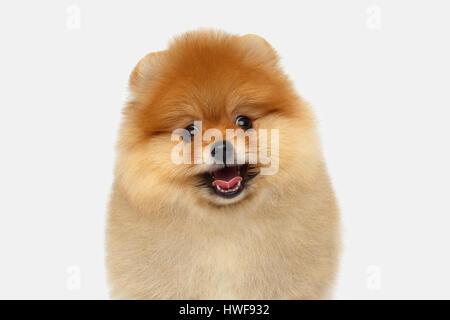 miniature Pomeranian Spitz puppy on white background - Stock Photo