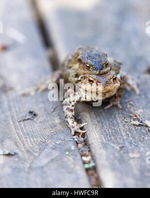 Pair of common European toads (Bufo bufo) mating  Model Release: No.  Property Release: No. - Stock Photo