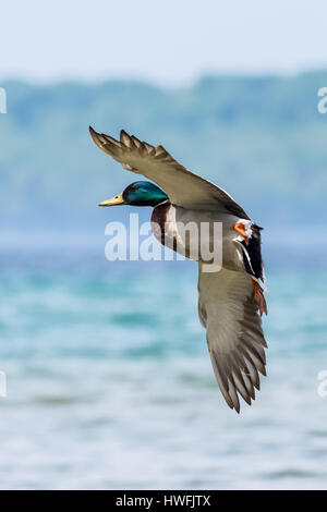 A male (drake) Mallard Duck (Anas platyrhynchos) coming in for a landing on the water.