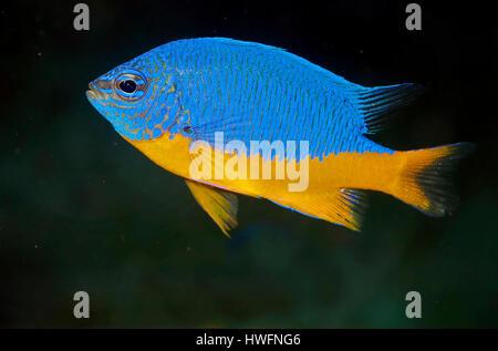 Azure damselfish (Chrysiptera hemicyanea). - Stock Photo