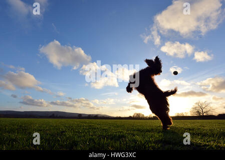 Ripe, East Sussex. 21st March 2017. Cocker spaniel leaping for a ball at the end of a bright and sunny Sussex day. - Stock Photo