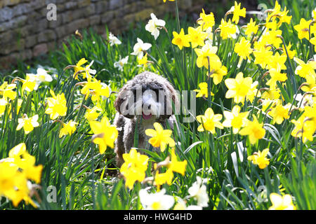 Peterborough, Cambridgeshire, UK. 21st March, 2017. Cookie the cockapoo dog sits amongst a patch of daffodils in - Stock Photo