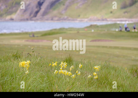 Cowslips (Primula veris) growing in rough grass on Earlsferry Links golf course in summer. Elie and Earlsferry, - Stock Photo