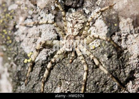 Lichen running-spider - Stock Photo
