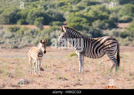 Zebra mother and baby, adult and foal,  Equus quagga; South Africa - Stock Photo