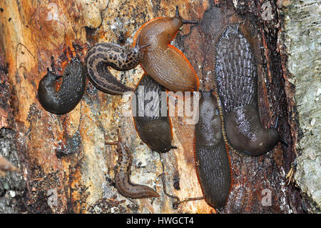 Slugs resting on a tree bark - Stock Photo