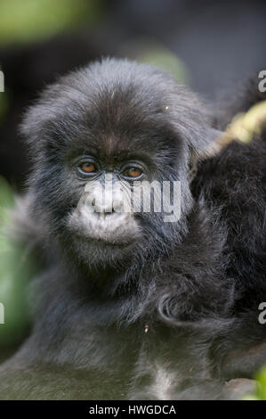 Mountain gorilla (Gorilla berengei berengei) trekking in Volcanoes National Park, Rwanda. - Stock Photo