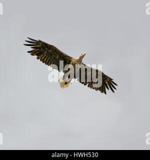 An adult White-tailed Sea-eagle (Haliaeetus ablicilla) against a cloudy sky at the island of Runde, north-western - Stock Photo