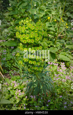 Euphorbia characias - Mediterranean Spurge - Stock Photo