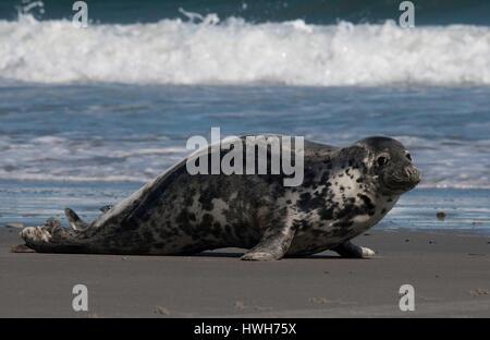 'female cone seal on the beach of Helgoland, Germany; Germany; Helgoland, sea mammal, marine mammals, cone seal, - Stock Photo