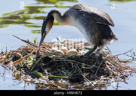 'Bonnet diver on nest with eggs, Germany; Hamburg; the Outer Alster lake, lake; birds; bonnet diver, Podiceps cristatus, - Stock Photo