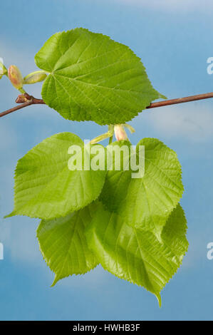 Large-leaved Lime, leaves, Tilia platyphyllos, summer lime-tree, sheets, Tilia platyphyllos  , leaves / (Tilia platyphyllos) - Stock Photo