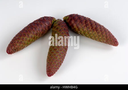 Norway Spruce, cone, Picea abies cut out, object, common spruce, plug, Picea abies free plate, cone / (Picea abies) - Stock Photo