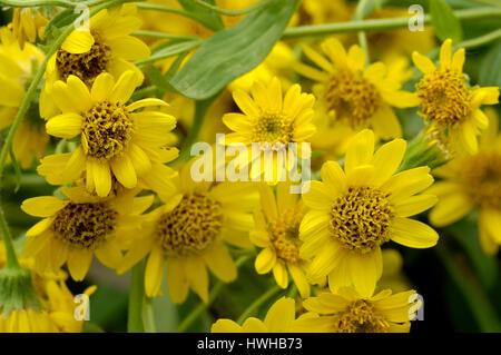 Mountain Arnica, Arnica Montana, real arnica, Arnica Montana  , Mountain Arnica / (Arnica montana)   Echte Arnika - Stock Photo