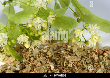 Lime, dried blooms, Tilia tomentosa, summer lime-tree, dry blossoms, Tilia tomentosa  , dried blooms / (Tilia tomentosa) - Stock Photo