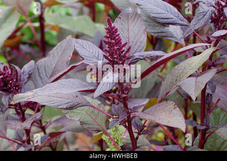 Amaranth, Love Love-lies-bleeding, Amaranthus caudatus, garden panel saw, Amaranthus caudatus  , Love-lies-bleeding - Stock Photo