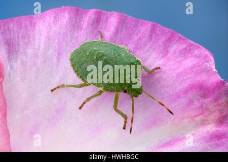 Common Green Shield bug, Palomena prasina, green sign bug, Palomena prasina green sign bug , Common Green Shield - Stock Photo