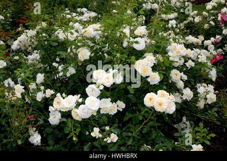 Rose snowflake, Rose spec., Bodendeckerrose Red Yersterday, Rose spec.  , Rose 'Schneeflocke' / (Rosa spec.) | Bodendeckerrose - Stock Photo