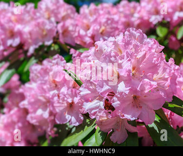 Pink rhododendron in the early summer garden. - Stock Photo