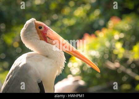 Yellow-billed stork - KL Bird Park, Malaysia - 2016 - Stock Photo