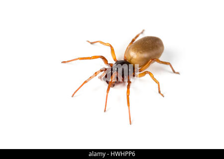 Woodlouse spider, Dysdera crocata, from Algarve, Portugal, also found in the UK - Stock Photo
