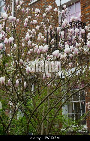 Magnificent Magnolia tree - Stock Photo