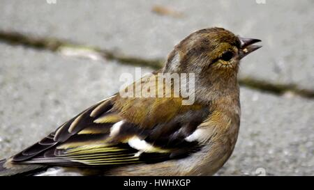 Close up of a female Chaffinch (Fringilla coelebs) side on. - Stock Photo