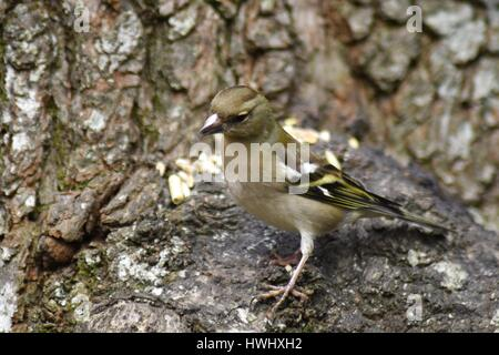 Female Chaffinch (Fringilla coelebs) perched on a tree trunk. - Stock Photo