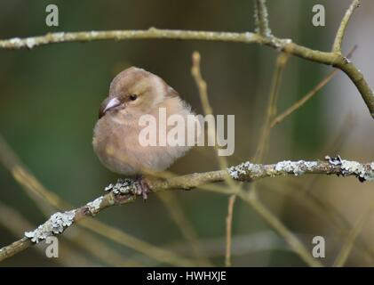 Young female Chaffinch (Fringilla coelebs) perched on a lichen covered twig, waiting her turn to feed. - Stock Photo