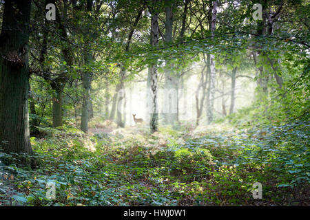 Misty English woodland with deer - Stock Photo